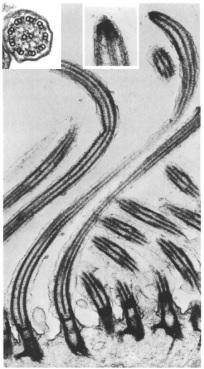 Cilia fronds